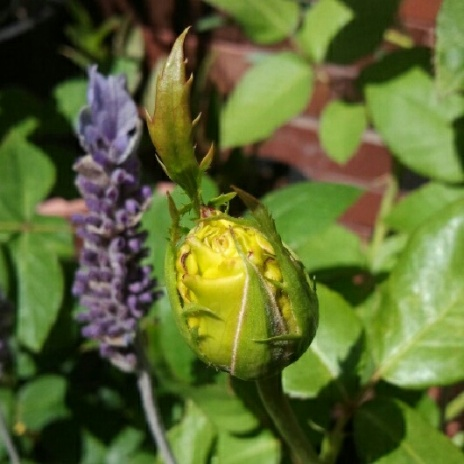 Rose bud and Lavender
