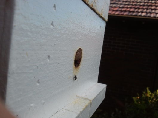 Here is the openginog the hive, if you look closely you can see a bee underneath the opening and you can see some just inside too. To give you an idea of the size of the bees, the opening is about 1.5cm diameter.