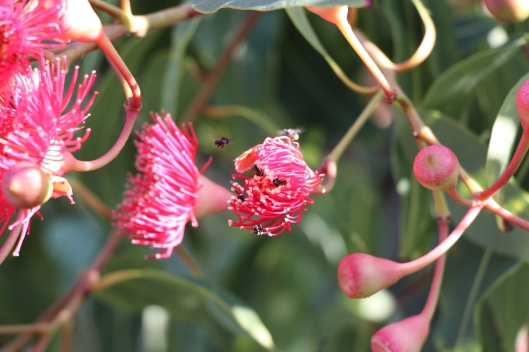 A pink flowering gum with some visiting Sugarbag bees.
