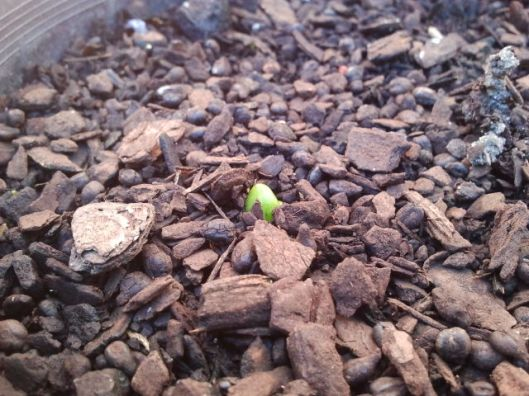 Here you can see the beginning of the Hyacinth. This is where is gets exciting