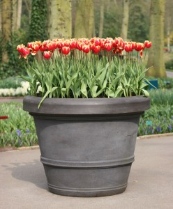 One day I too will have a pot of red Tulips!!!
