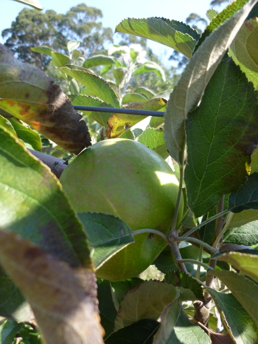 A Granny Smith apple waiting to be picked