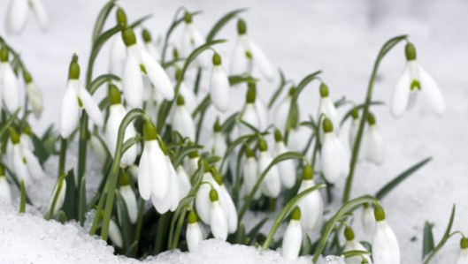 The Snow Can't Keep These Little Guys Down (Leucojum - Snowflake Bulb)