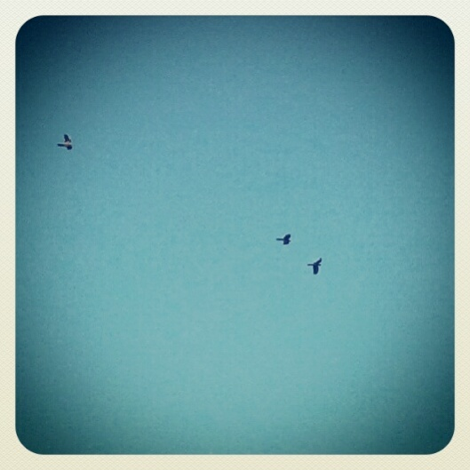 This is a picture of mine from Instagram. I captured only three birds but there were at least fifty more in the sky above.