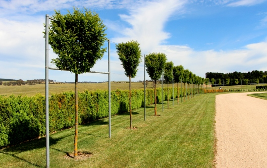 The Beginnings Of A Pleached Hedge