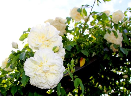 Divine Climbing Roses