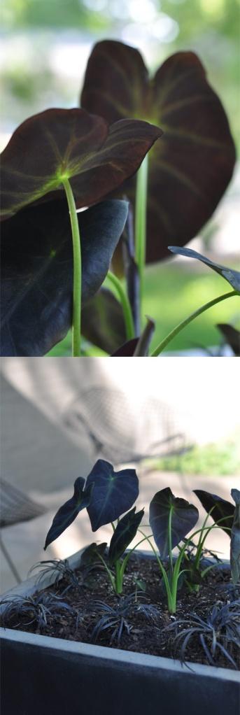 Colocasia escuenta 'Black Magic'