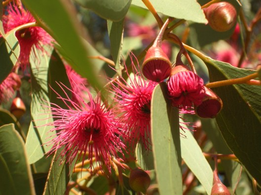 I confess, pink flowering Gum is one of my favourites!