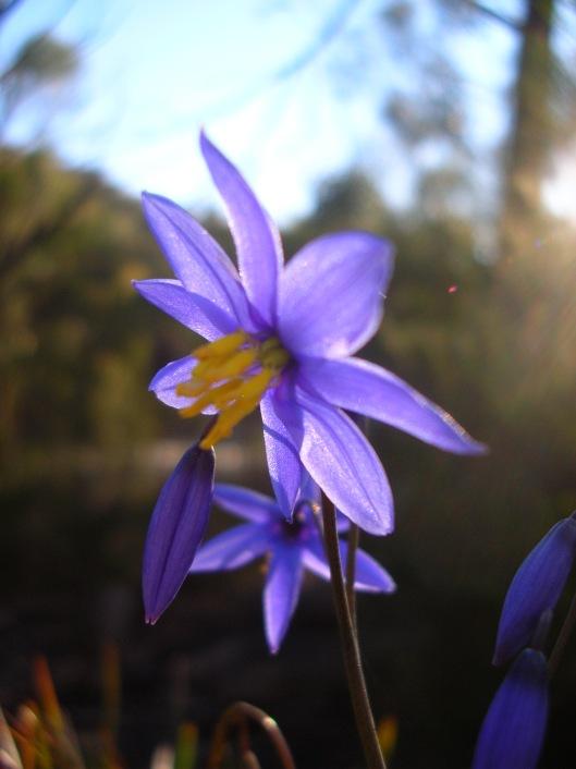 Dianella flower