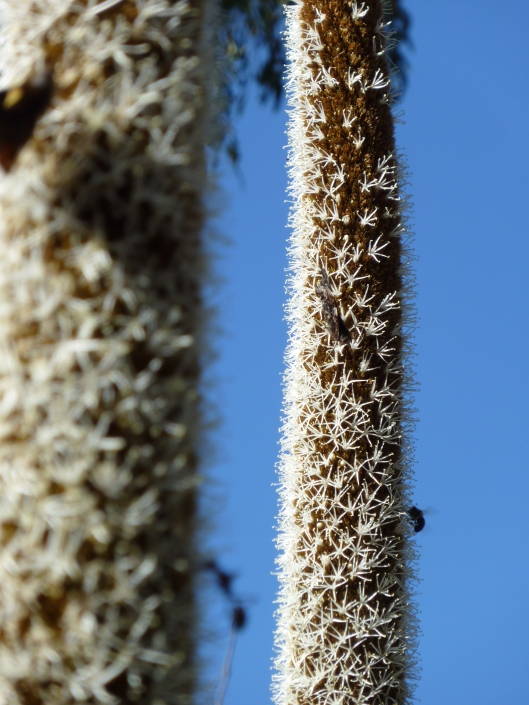 Xanthorrhoea Flower Spike (Grass Tree)
