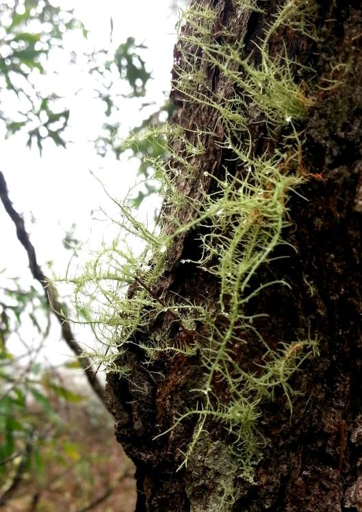 Fine Lichen On Branch