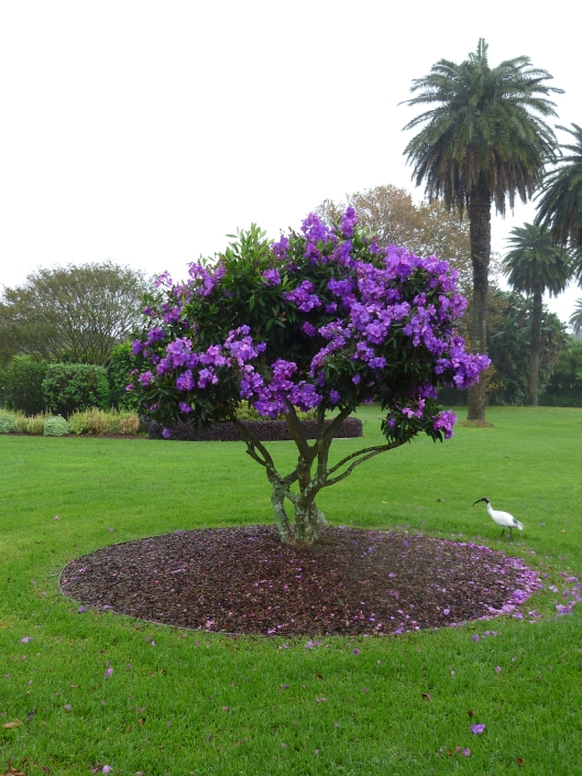 Tibouchina In Flower