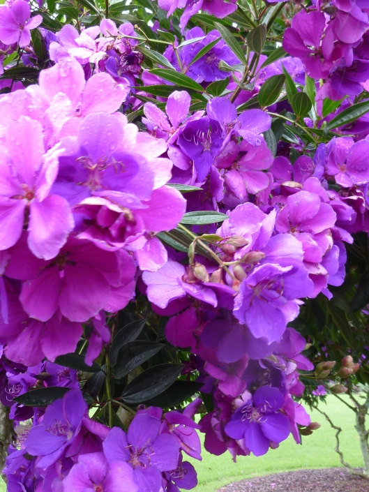 Tibouchina Flowers