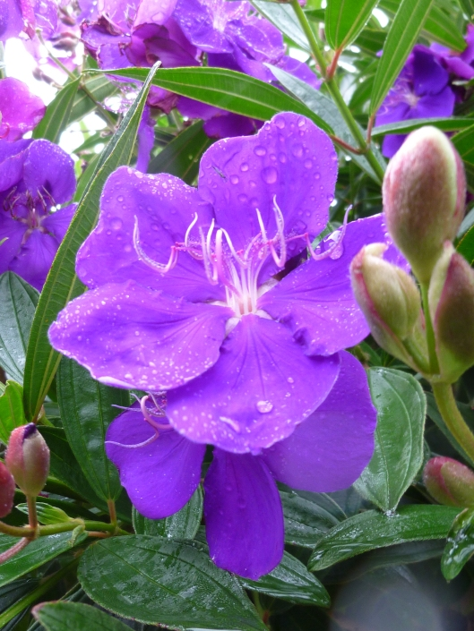Tibouchina Flower