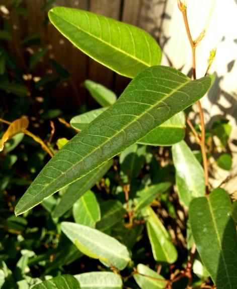Hardenbergia I
