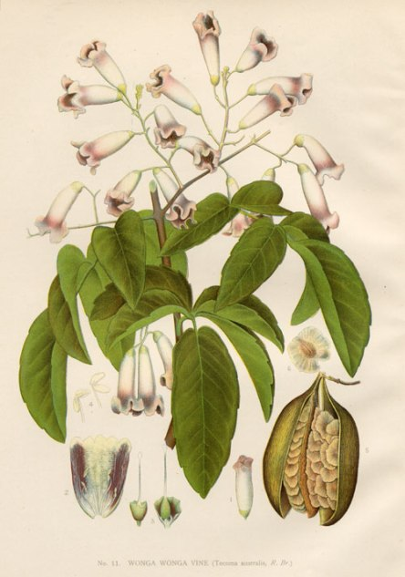 Pandorea pandorana, pretty flowering climber, pretty illustration