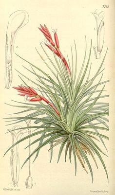 Tillandsia tenufolia. Air plants are very popular at the moment