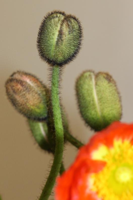 Poppy_Pod